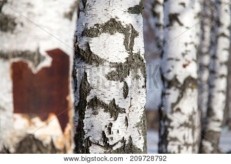 birch trunk as background . In the park in nature