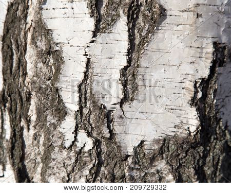 birch trunk as background . Photo of an abstract texture