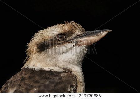 Head of a beautiful kookaburra with black background