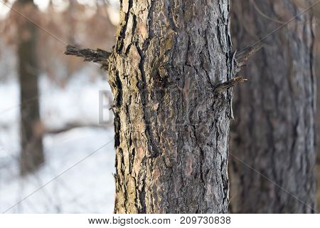 pine trunk . In the park in nature