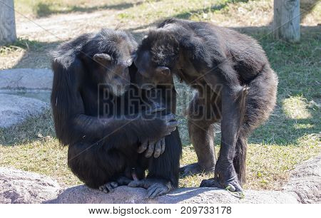 Chimp couple nuzzling and looking eye to eye