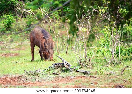 Indian boar or Sus scrofa cristatus in Yala national park, Sri Lanka