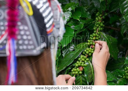 Akha tribe woman picking Fresh green coffee beans fruits growing on the branch