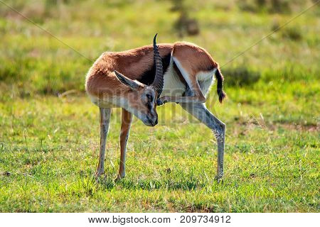 Wild Thompson's gazelle or Eudorcas thomsonii grazes in savanna