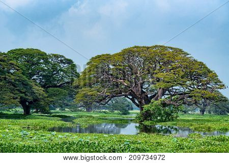Beautiful tropical landscape of Tissa Wewa lake with giant Indian rain trees or Albizia saman in the water