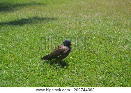 NATIVE BIRD OF HAWAII, Big Island, USA, EEUU.