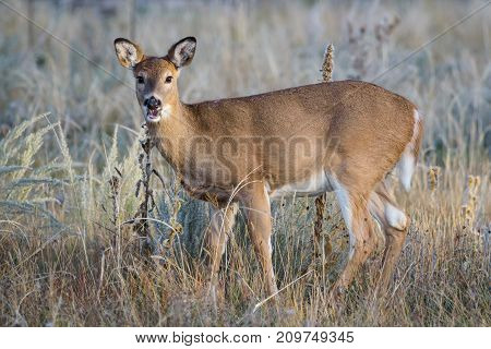Wild Deer on the Colorado Prairie. White-tailed doe.