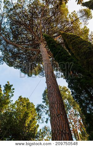 Bottom view of tall pine tree on the background of clear sky