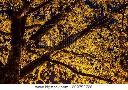 Bottom view of illuminated branches of alder tree at twilight