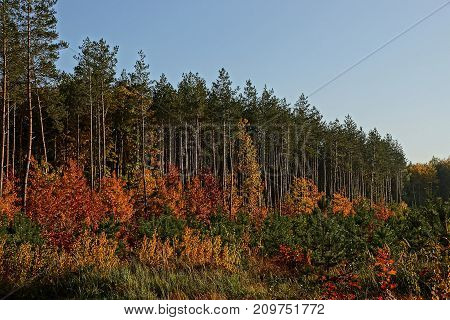 forest edge with pine trees and vegetation with colored leaves against the sky