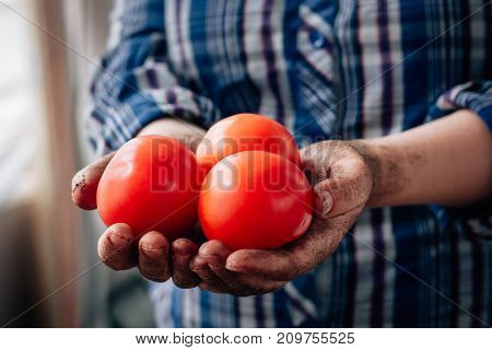 Fresh ripe red tomatoes in a farmer hands