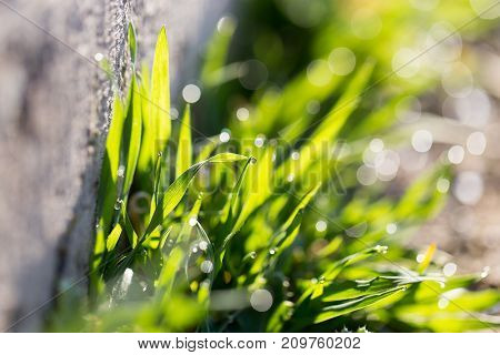 drops of dew on the grass . In the park in nature