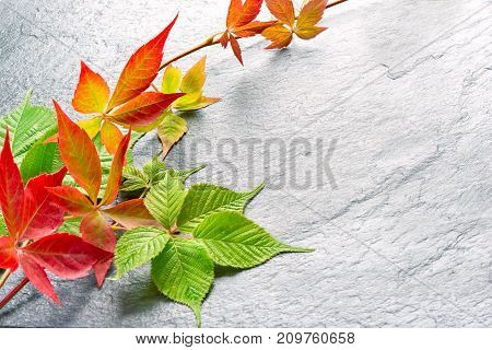 Branch Of Red Autumn Grapes Leaves. Parthenocissus Quinquefolia Foliage. Isolated On White Backgroun