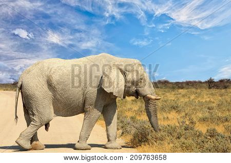 Large African Elephant (Africana Loxodonta) walking across a dry dusty track road in Etosha National Park Namibia Southern Africa