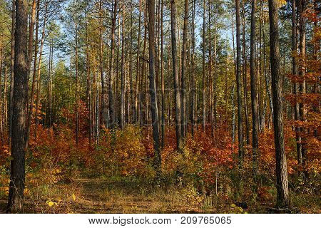 Pine forest and colorful bushes in dry grass