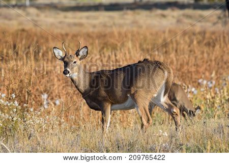 Wild Deer on the Colorado Prairie - Young White-tailed buck.