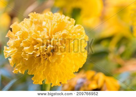 Real Marigold flowers Full bloom the flower look bright beautiful.