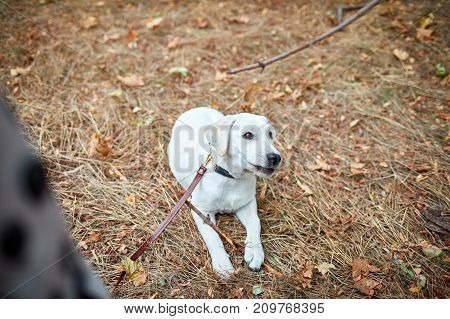 Happy white labrador retriver walking and playing in the forest. Dog having fun on the nature background. Close-up of doggy. Animal concept.