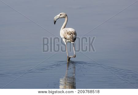 Gray Flamingo in the Camargue national park in France