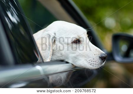 A cuttie puppy looking from car's window on the street. Beautiful doggie on the blurred background. Close-up of dog. Animal concept.