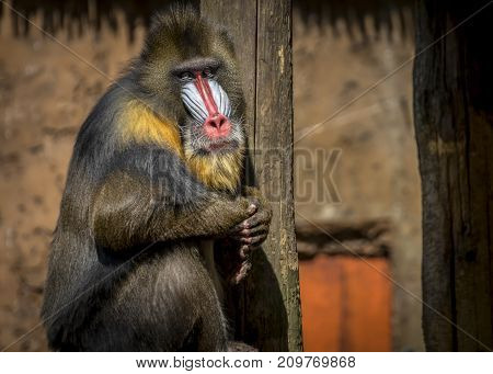 Male mandrill monkey sitting for a pose