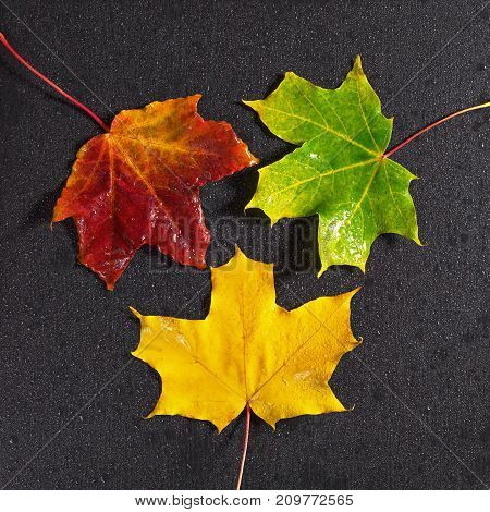 Autumn maple leaves and water drops on black stone background top view