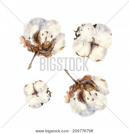 Botanical watercolor illustration of cotton balls on white background. Could be used as decoration for web design, polygraphy or textile