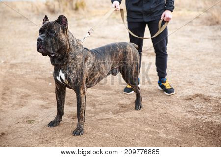 A big dark pitbull walking with owner near the river. Cute dog standing on the nature background. Close-up of doggie. Animal concept.