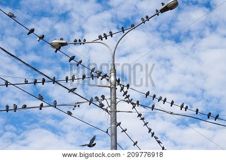 Pigeons on electric concrete pole. Group of bird resting on cable wires with blue sky background