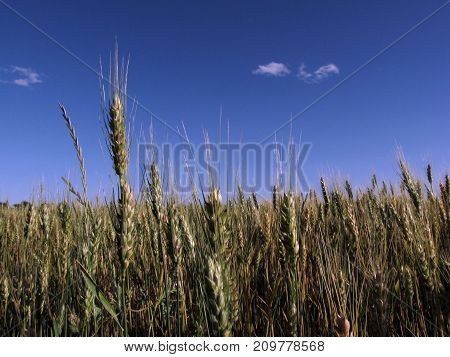 Stalks of wheat reach toward the open expanse of a blue Texas sky near the town of McGregor