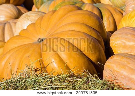 Pumpkins close-up. Big Pumpkin on the green grass