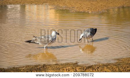 Seagulls On Ground  With Muddy Water