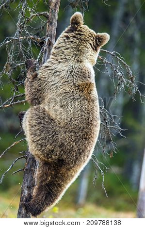 The Bear Cub Climbing On The Tree. Back View. Ursus Arctos ( Brown Bear)