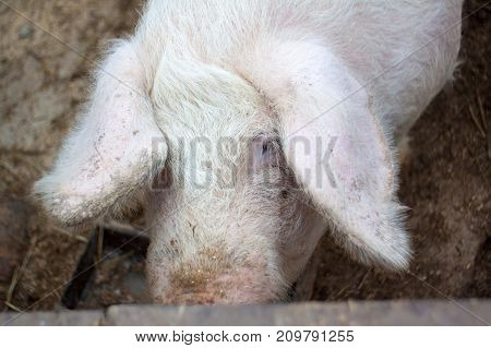 A large pig's head close-up on a pig farm