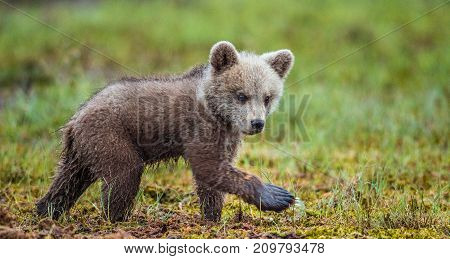 Cub Of Brown Bear (ursus Arctos Arctos) On The Swamp In The Summer Forest. Natural Green Background