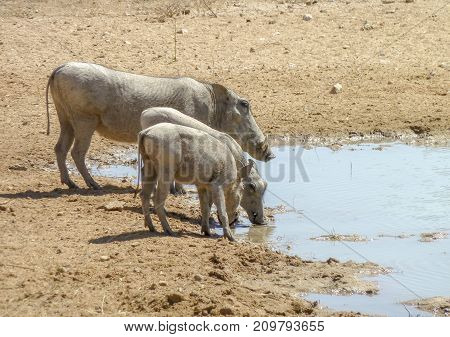 three warthogs at a waterhole in Namibia Africa