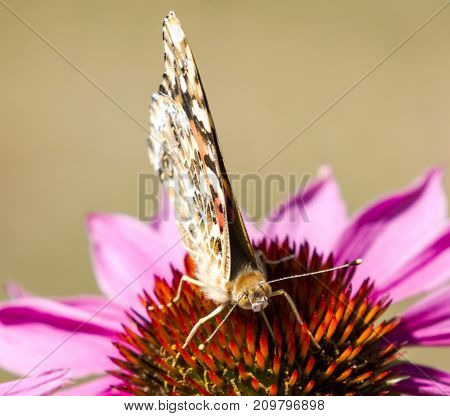 A close up photo of a painted lady butterfly standing on a purple coneflower looking into the camera