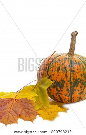 Food Concepts. Closeup of Natural Yellowish Pumpkin with Long Stem Over Pure white Background. Laid with Maple Leaves. Vertical Image