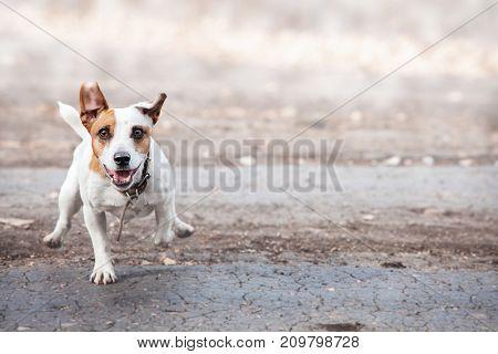 Dog running. Jumping pet at autumn