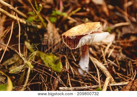 Mushrooms in a clearing in an autumn mushroom forest. Search for mushrooms in the forest. Picking mushrooms.