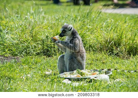 Ringtailed lemur at feeding time in a wildlife park