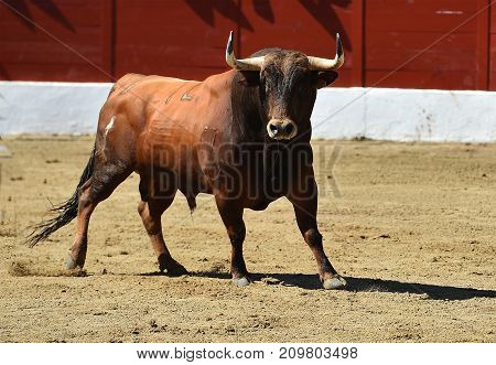 bull in spain with big horns in bullring