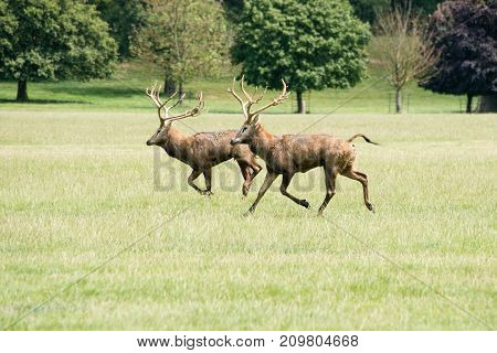 Two red deer stags running through a field at Woburn abbey UK