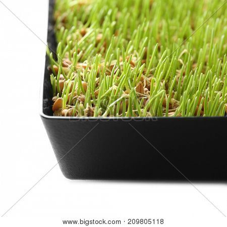 Fresh wheat grass in container on white background, closeup