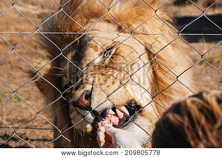 Male lion being fed in an animal sanctuary in South Africa