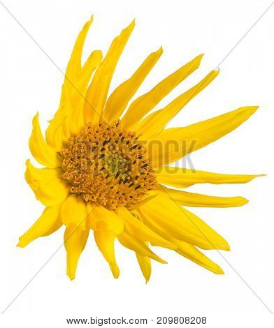 single sunflower isolated on white background