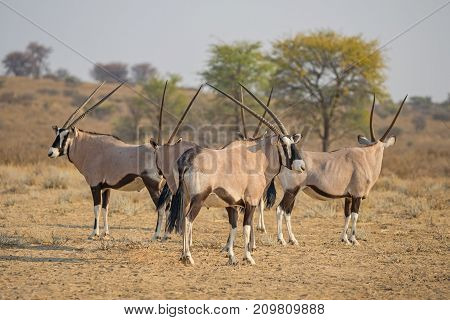 A herd of gemsbok in the Kgalagadi Transfrontier Park, situated in the Kalahari Desert which straddles South Africa and Botswana.