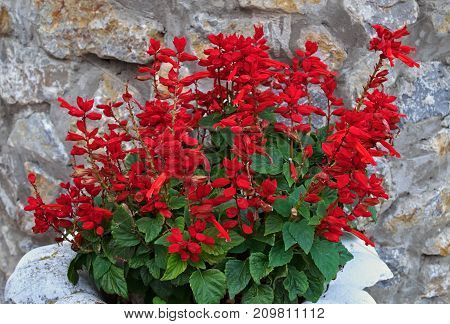 Salvia blooming with red flowers in front of stone wall