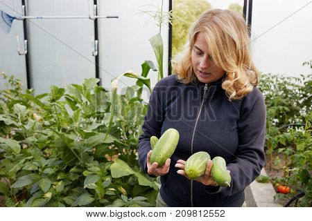 Blond woman shows several cucumbers she holds in hands standing at vegetable garden.