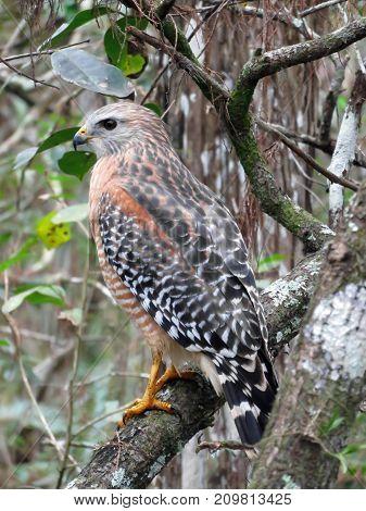 Red Shouldered Hawk at Corkscrew Swamp Sanctuary